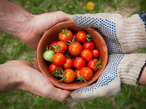 Summer Harvest Tomatoes